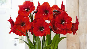 Amaryllis Legends and Fun Facts | Gardener's Supply